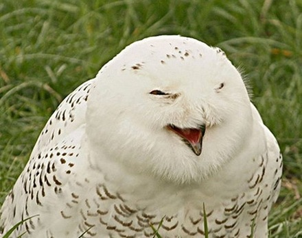 laughing-owls