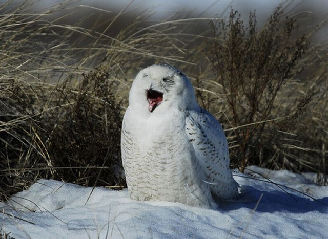 laughing_owls_02