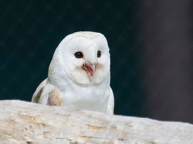 laughing_owls_06
