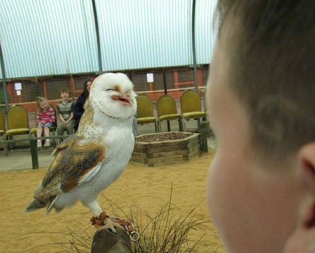 laughing_owls_08