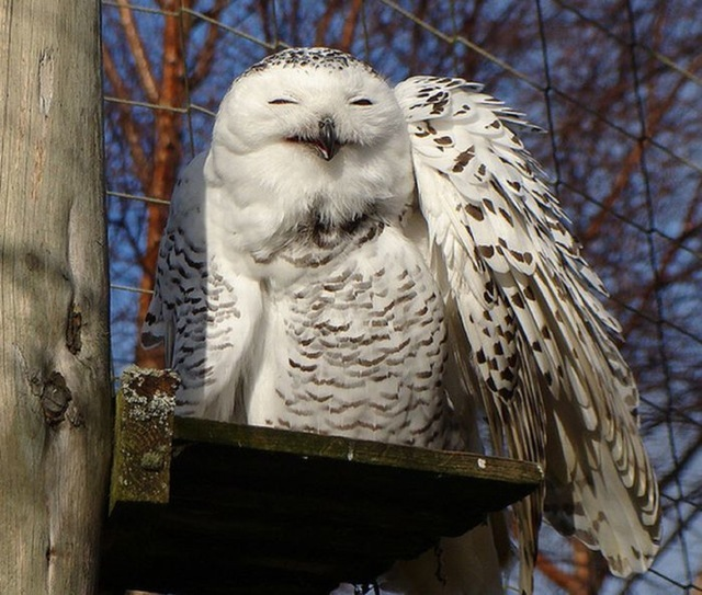 laughing_owls_11
