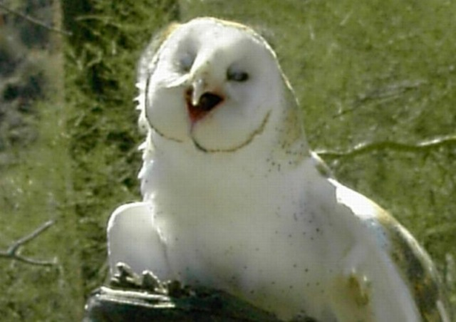 laughing_owls_14