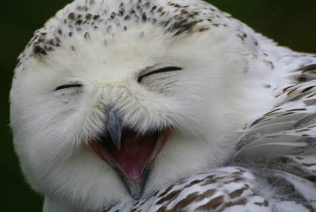 laughing_owls_16