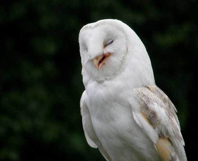laughing_owls_17