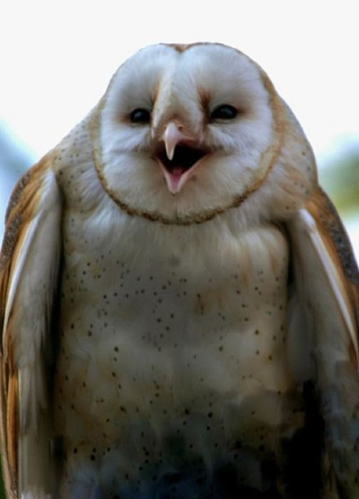 laughing_owls_18