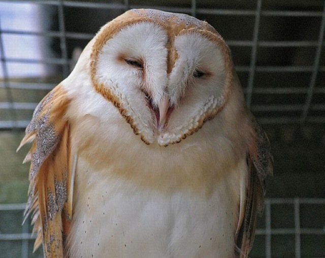 laughing_owls_20