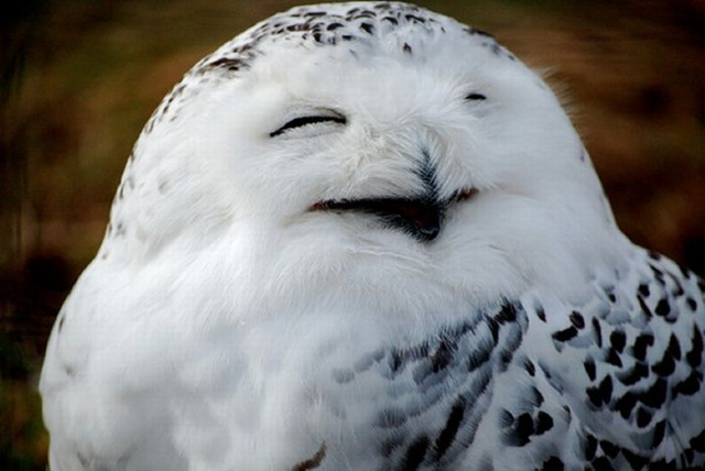 laughing_owls_22