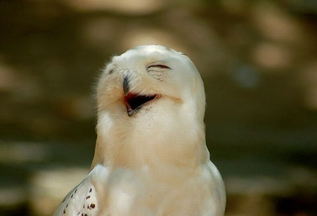 laughing_owls_27