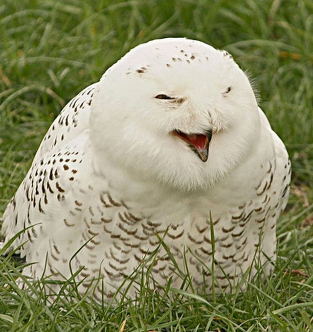 laughing_owls_30